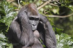 Lowland Gorilla 2016-10-14 (60D_4321) (ajhaysom) Tags: westernlowlandgorilla melbourne melbournezoo canoneos60d sigma120400 australia