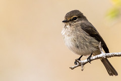 Pale Flycatcher; Bradornis pallidus; Muiskleurvlievanger; (My Pixelated life) Tags: bradornispallidus krugerpark muiskleurvlievanger paleflycatcher r696 birds