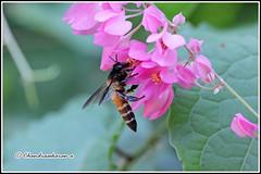 6506 - honey bee (chandrasekaran a) Tags: honeybee bee insects india chennai nature canon60d tamron90mm macro honalulu flowers