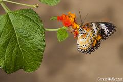 Cethosia cyane (Manolo G.A.) Tags: cethosia cyane canon 50d 18200mm mariposario njar almera mariposa butterfly