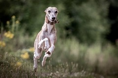 jump (Bea Antoni) Tags: bewegung motion canon action animal haustier tier pet whippet dog hund