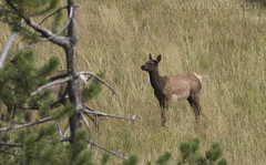 "Elk Calf • <a style=""font-size:0.8em;"" href=""http://www.flickr.com/photos/63501323@N07/30309727812/"" target=""_blank"">View on Flickr</a>"