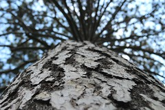 Birke (cremefraiche_melu) Tags: himmel sky stamm park natur bltter tree baum birke