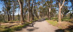 Belair National Park (Anthony's Olympus Adventures) Tags: adelaide australia southaustralia sa belair nationalpark park road tree treelined panorama spring belairnationalpark path panoramic olympusem10 trees gumtree talltree afternoon day shadow walking walk scenic flora