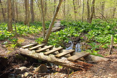 Two Bridges in Burrillville Woods (Lynn K. Photography) Tags: ri bridge woods woodenbridge burrillville