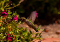 Greenery in motion (sbisson) Tags: california green birds garden spring wings feeding wildlife small beak feathers sanjose fast tiny nectar iridescent hummingbirds beating hover