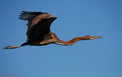 Gara-imperial | Purple Heron (Ardea purpurea) (Rosa Gamboias/ on vacation) Tags: sky naturaleza bird portugal nature birds animals fauna wildlife natureza birding natura aves cu uccelli ave animais ornithology birdwatching oiseau oiseaux avifauna ardeapurpurea vidaselvagem garavermelha ornitologia garaimperial reservanaturaldoesturiodotejo garagalega rosagambias