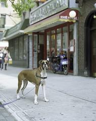 the boxer. (tumbleweed.in.eden) Tags: newyorkcity film mediumformat pentax sunday pentax6x7 lomographyfilm lomo100 tumbleweedineden cararosephotos believeinfilm carafarnell