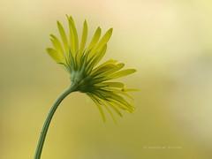 Yellow - my 1000th post! (K D Photos) Tags: canada flower nature yellow canon garden petals flora bc britishcolumbia victoria vancouverisland butchartgardens delicate sidney