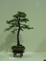 Cedar (Bonsaigirl) Tags: scotland display gardening bonsai caledonian 2013