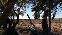 on windy hill (ClareSnow) Tags: trees winter cue windy australia outback eucalyptus arid gumtrees lakesidestation lakesideroad calcrete mulgacountry eucalyptusstriaticalyx