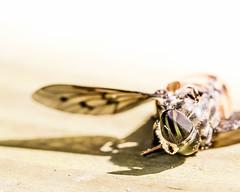 I confess... (kamakirii) Tags: horse fly horsefly insect macro canon 5d mk3 canon5d