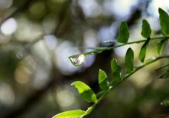 Agua de lluvia, agua de das que vendrn (Aviones Plateados) Tags: canon eos550d rebel t2i kissx4 gota drop rain pluja lluvia agua water aigua verde verd green elultimodelafila llantodepasin manologarca quimiportet 2015