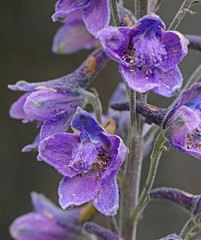 CAD0002638a (jerryoldenettel) Tags: 2016 az chiricahuamountainlarkspur cochiseco delphinium delphiniumandesicola larkspur magnoliopsida ranunculaceae ranunculales rustlerpark