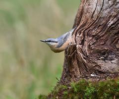 Nuthatch (DaisyDeeM) Tags: nuthatch bird feathers beak blue nature outdoor tree
