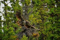 Eagle Taking Off (MIKOFOX  Show Your EXIF!) Tags: canada bird eagle fujifilmxt1 yukon june spruce baldeagle xt1 showyourexif mikofox summer xf18135mmf3556rlmoiswr