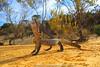 Prehistoric repetition in a modern world.. (Rob Valentic - Gondwana Reptile Productions) Tags: carlzeiss makroplanar502ze makroplanar canoneos5dmark3 malleeheathland malleereptiles varanidae heathmonitor varanusrosenbergi rosenbergsmonitor aridaustralianreptiles threatdisplaylizard sanddune sandandsky concepts robvalentic goannabiting goanna saline heathland australianlizards mouthgaping southaustralianreptiles monitorinthreatposture hissinglizard desertlizards outbackreptiles spectacularaustralianlizards