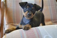 _DSC0004 (Andrea Marzano) Tags: pinscher dog cane nikon nikond5200 d5200