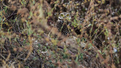 Casal de corujas. Owl couple (caiofrancaleitao) Tags: beautiful nikon nikon7100 nikonphotography nature natureza naturephotography wildlife wild wildlifephotography bird birds birdlover birdphotography coruja owl