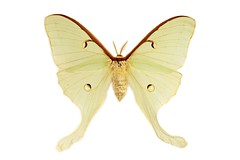 Luna Moth, Horseheads NY 12 June 1939 L. R. Rupert (Macroscopic Solutions) Tags: luna moth cornell lunamoth micro macropod macroscopicsolutions mark smith marksmith scales butterfly butterflyscales lepidoptera