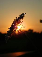 When the sunlight paints us gold. #goldenhour #goldenlight #sunset #flower #nature (vittoriabaldassarre) Tags: goldenlight nature sunset flower goldenhour