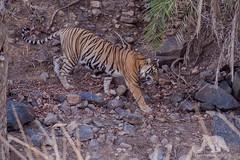 Bengal Tiger (fascinationwildlife) Tags: animal mammal predator tiger tigress female big cat feline elusive forest nature natur national park india ranthambhore wild wildlife summer heat asia