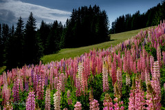 Lupinen / Lupines ( Explored... Thank you so much ❤️) (Claudia Bacher Photography) Tags: blumen flowers blüte blossom natur nature suisse schweiz switzerland fujixe2 fatschél hochwang graubünden outdoor pflanze plant lupinen lupines