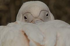 Pelikaan (Jan de Neijs Photography) Tags: pelican pelikaan ouwehands ouwehandsdierenpark zoo dierentuin rhenen tamron tamron150600