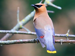 cedar waxwing in Winneshiek Co. IA 854A8351 (lreis_naturalist) Tags: cedar waxwing winneshiek county iowa larry reis