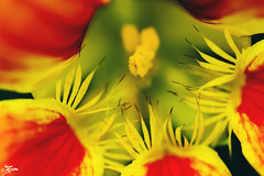 Anther - Close Up (briejeshpatel) Tags: brijesh patel briejeshpatel karnataka flowershowaugust152016 macro flowers canon 7dcanon l lens dslrcanon 100mm f28l bangalore lalbagh flower show2016 f28 macrophotography macrography anther