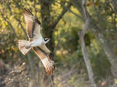 Back-lit Osprey 9_14 (krisinct- Thanks for 12 Million views!) Tags: nikon d500 500 f4 vrg