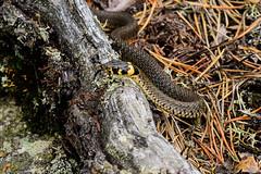 Natrix Natrix (arne.lindgren) Tags: grasssnake snake natrixnatrix reptile