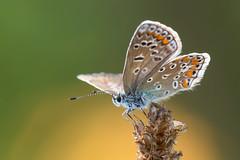 Hauhechel-Bluling  Common Blue  Polyommatus icarus (Bluesfreak) Tags: insekten odenwald schmetterlinge tagfalter taubertal unterfranken hauhechelbluling polyommatusicarus common blue