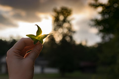 Haze (Rebecca Hester) Tags: flora fauna outdoor leaf leaves summer fall autumn sunset color nikon nikonphotography d3300 35mm nc northcarolina sun