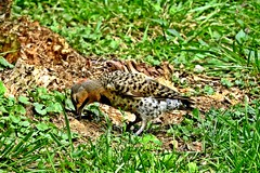 Northern Flicker Foraging for Insects (--Anne--) Tags: bird birds photography nature wildlife animal northernflicker woodpeckers woodpecker