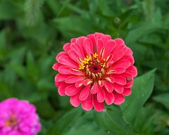 Vivid Zinnia... (zoomclic) Tags: canon closeup colorful 5dmarkii tse90mmf28 zinnia vivid flower foliage plant nature summer dof dreamy bokeh green pink orangishpinkish zoomclicphotography