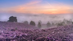 Purple sunrise (Ellen van den Doel) Tags: netherlands zonsopkomst natuur landscape blooming veluwe nature mist posbank nederland bloei wolk bos september purple heath sun sunrise national tree landschap cloud forest heide paars sky park nationaal depth color 2015 rheden gelderland nl