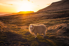 Sunset Sheep (West Leigh) Tags: faroeislands sunset glow sheep animal field freedom travel travelphotography tranquil dream discover explore experience wanderlust wander tranquility dreaming warm shaggy life beauty