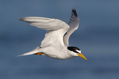 Least Tern (bmse) Tags: least tern bolsa chica bmse salah baazizi wingsinmotion canon 7d2 400mm f56 l flying