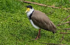 Spur-winged Plover (Kiwi-Steve) Tags: nz newzealand spurwingedplover plover bird nature nikond7200 nikon