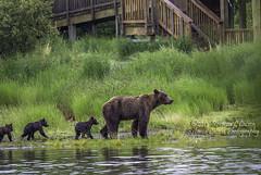 Trooping Along, Katmai National Park (rebeccalatsonphotography) Tags: ak alaska brown bear coastal katmai np nationalpark katmainationalpark rebeccalatsonphotography wildlife ursus canon 500mm primelens