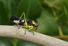 Pardalota haasi (zimbart) Tags: africa zimbabwe zambezinationalpark fauna arthropoda insects orthoptera tettigoniidae pardalota pardalotahaasi specinsect
