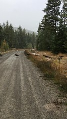A little traffic on the road this morning (Naturegrl64 (Diana)) Tags: wildturkeys turkeys montana snow