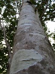 Trunk Of A Tree. (dccradio) Tags: lumberton nc northcarolina robesoncounty tree leaves evening dusk sky bark treetrunk trunk wood