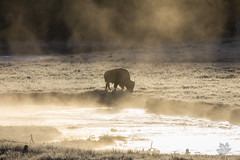 Misty Morning Bison (Michelle Pilling Photography) Tags: yellowstone national park madison river early morning fog mist bison buffalo tatonka wyoming