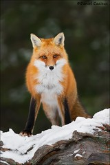 Red Fox Being Curious (Daniel Cadieux) Tags: fox redfox stare eyes ears algonquinpark forest woods curious sly