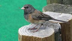 Sparrow (5of7) Tags: britishcolumbia fairmonthotsprings bc funtasia funtasiafamilyfunpark fav outdoor animal bird andromeda50bestofthebest challengewinner nature 10fav sparrow 20fav 24fav