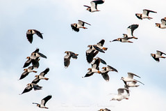 Lapwings in Flight (vanellus vanellus) (phat5toe) Tags: lapwing birds avian feathers flight wildlife nature wetland luntmeadows nikon d300 sigma150500