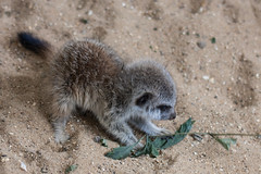 Curious baby (Claire2K) Tags: meerkat baby cute fluffy