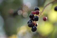 red fruit, black fruit/赤い実、黒い実 (kurupa_m) Tags: fruit fall autumn hokkaido xt10 実 赤 黒 秋 北海道 札幌